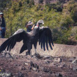 Tras cuatro años de rehabilitación, tres cóndores andinos son liberados en el cajón del maipo